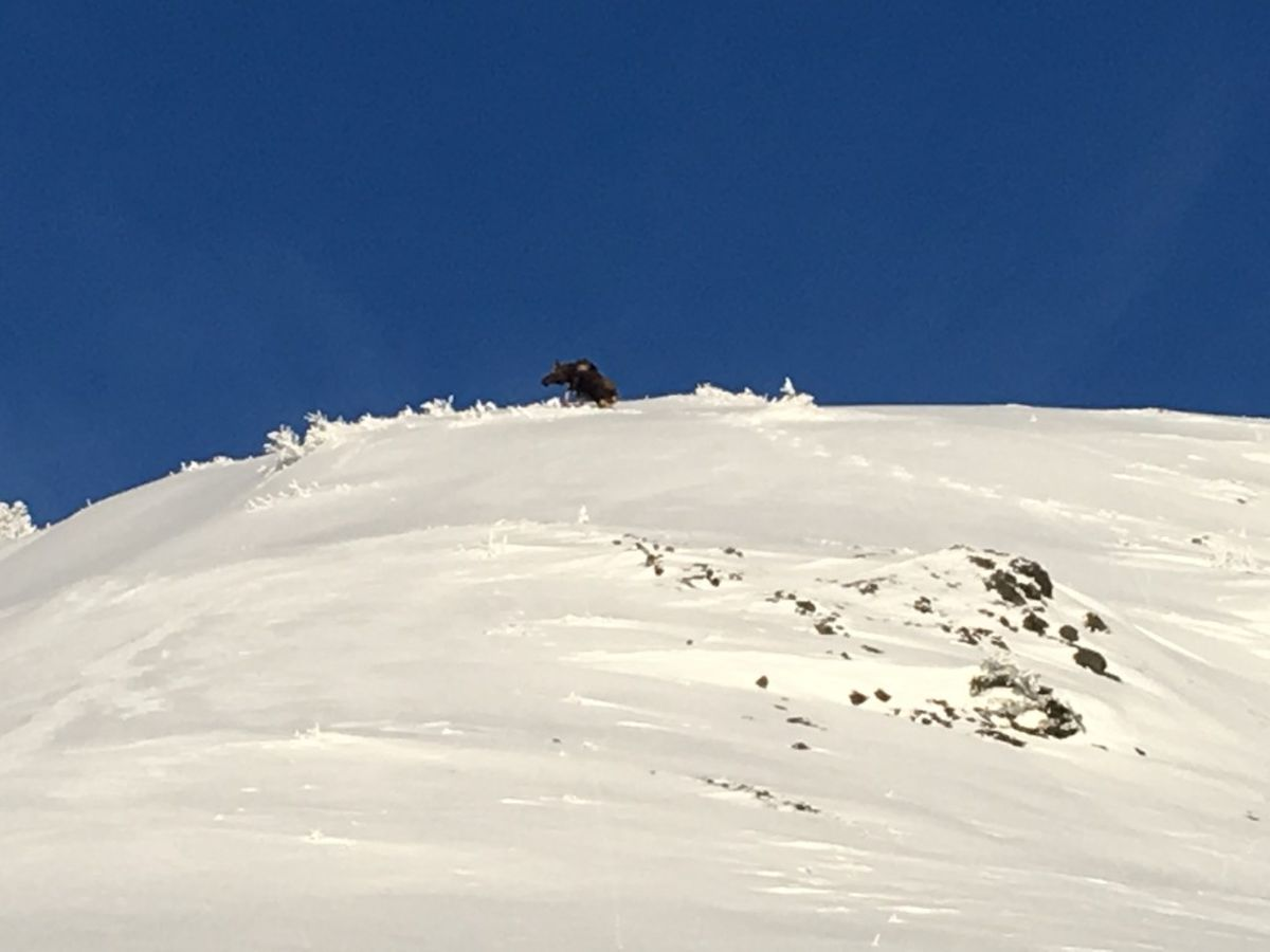 An image accompanied a Sunday avalanche report from the lower Arkose Ridge in Hatcher Pass by an observer who said the slide was triggered by a cow moose. (Via Hatcher Pass Avalanche Center)