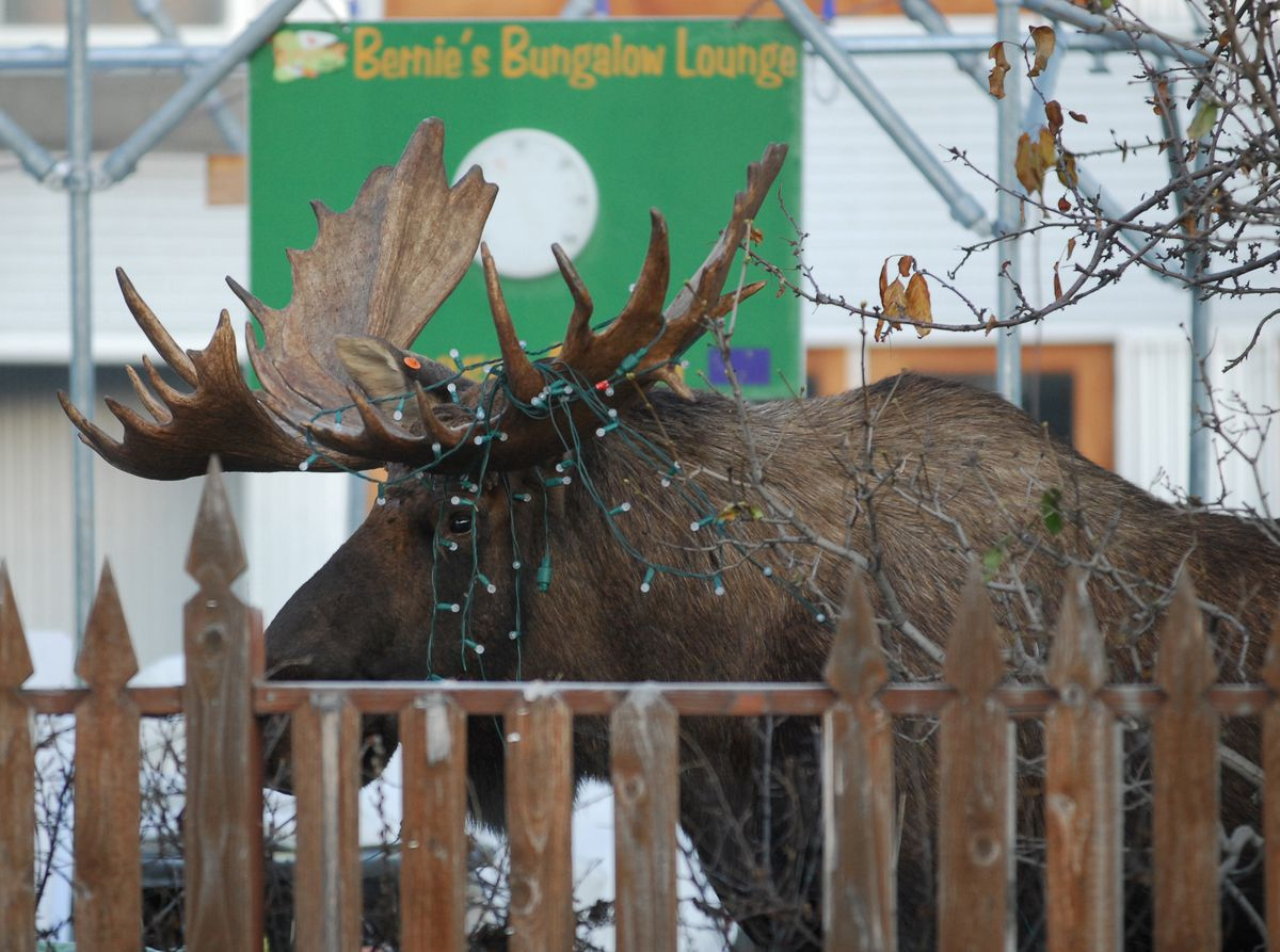 A bull moose sporting Town Square holiday lights settles in at Bernie's Bungalow Lounge in downtown Anchorage, November 27, 2007. (Erik Hill / ADN archive)