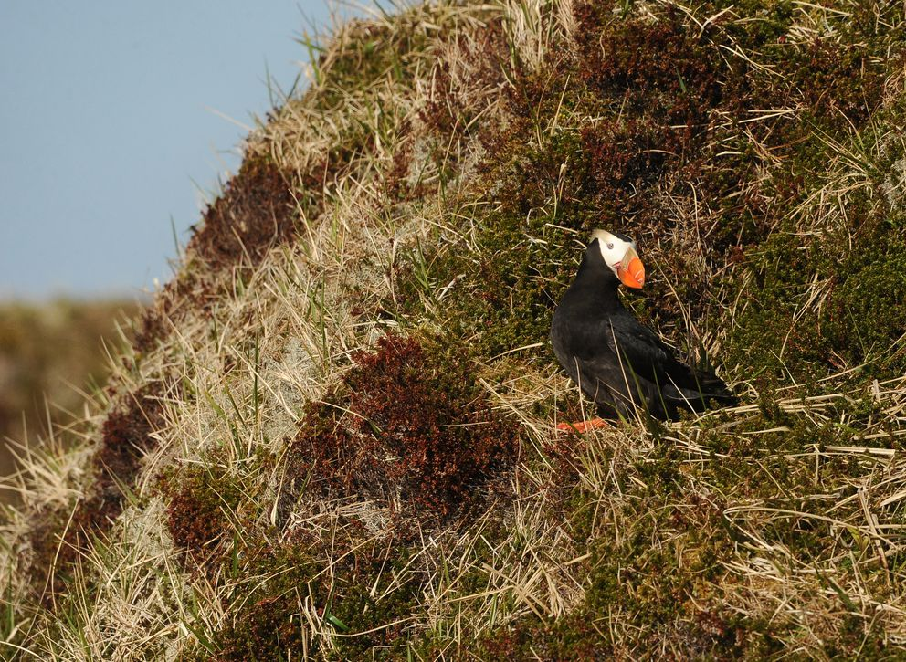 A tufted puffin rests on a cliffside on Attu Island on June 3, 2015. The U.S. Fish and Wildlife Service research boat Tiglax stops at Attu Island, the westernmost of the Aleutian Islands. (Bob Hallinen / Alaska Dispatch News)