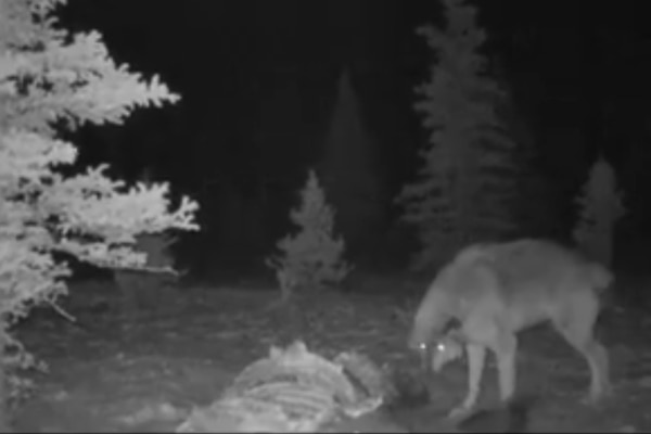 A wolf and a wolverine spar over food in this interaction caught on a motion sensor game camera on Feb. 9 in Denali National Park and Preserve. (Screengrab via Denali National Park)