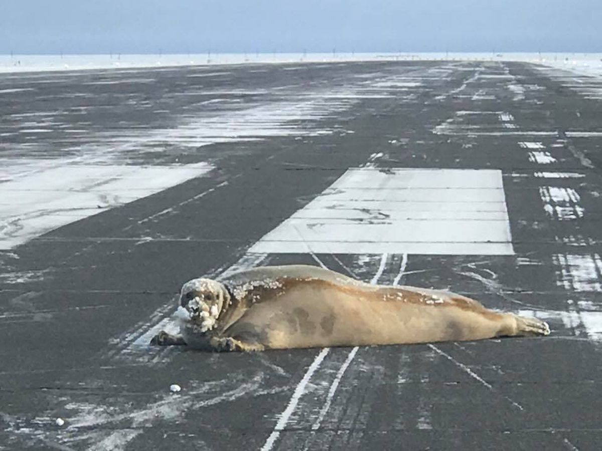 A seal hauled out and was found resting on the Utqiagvik (Barrow) airport runway Monday. (Scott Babcock / ADOT&PF)