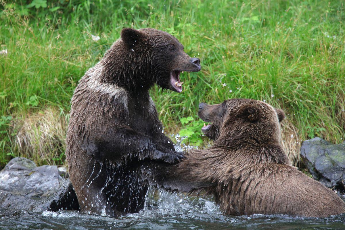 Brown bears on the Kenai Peninsula in 2017. (Photo by Steve Meyer)