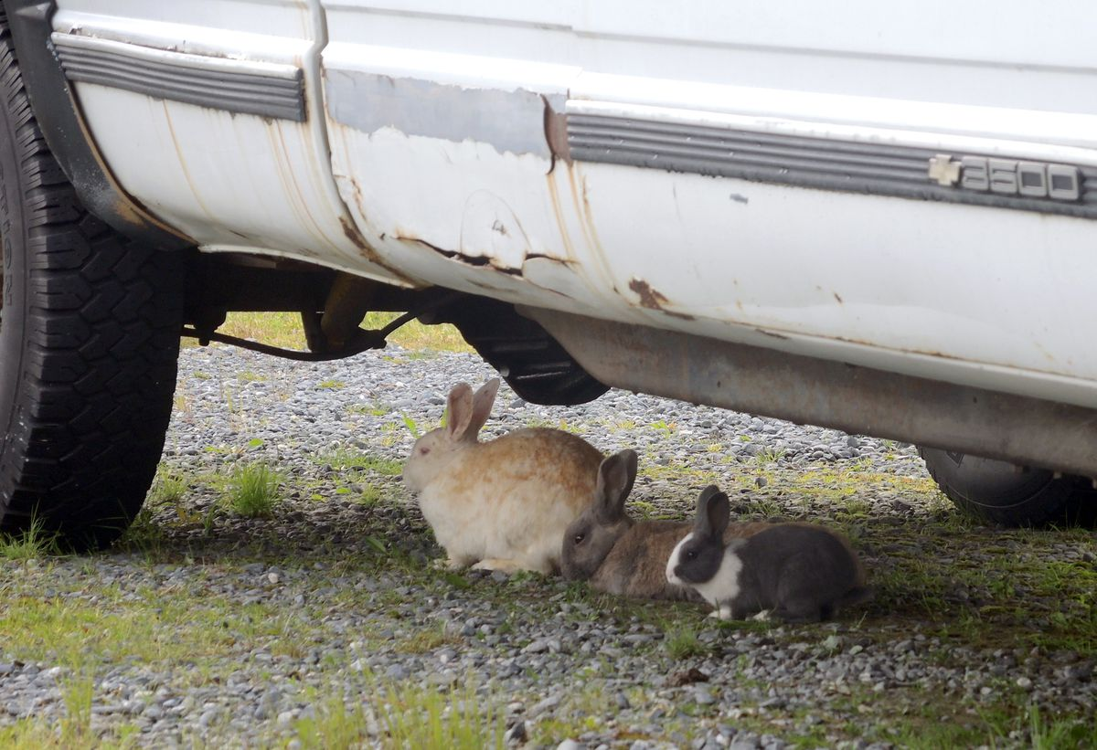Rabbits of every color thrive in downtown Valdez. (Allison Sayer)