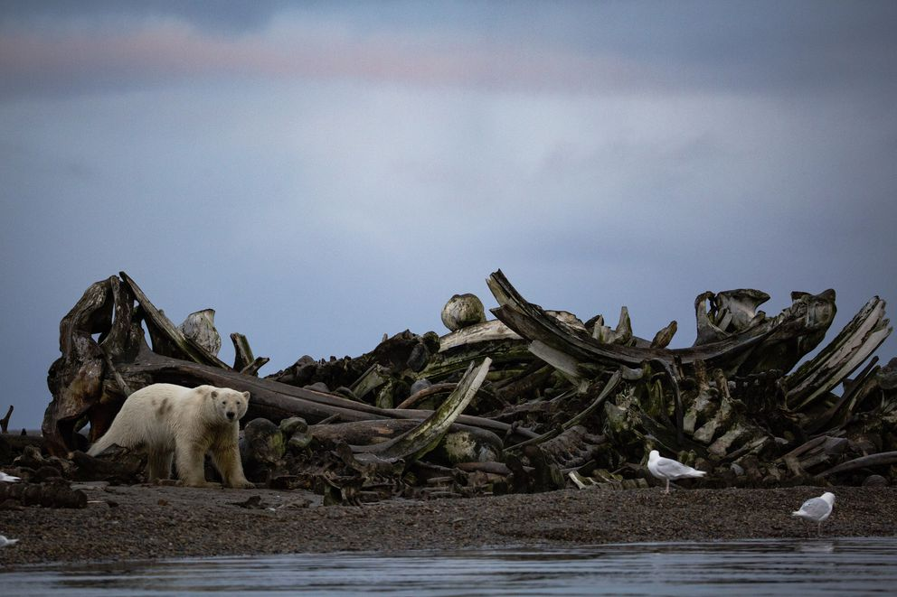 A polar bear near a pile of whale bones placed by villagers just outside Kaktovik last year. (Josh Haner / The New York Times file)
