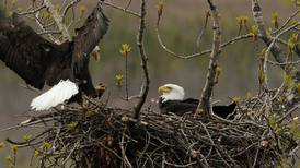 Tracking a bald eagle from birth near Anchorage's Potter Marsh