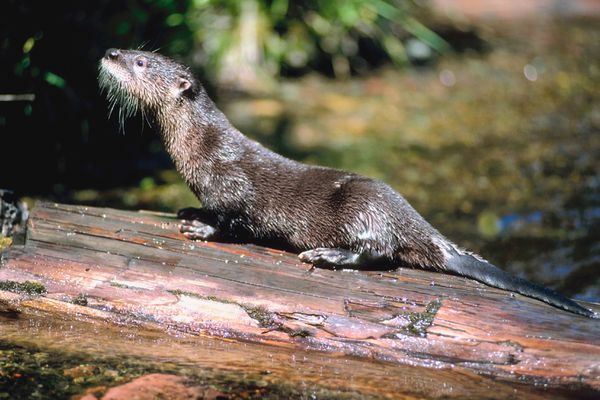 River otter (iStock / Getty Images)