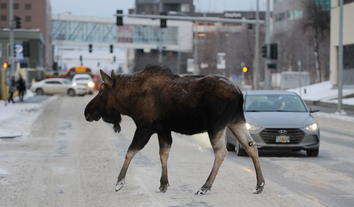 A bull moose stopped traffic on C Street while browsing on trees in downtown Anchorage on Thursday, Dec. 21, 2017. (Bill Roth / ADN archive)