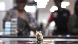 Video: Rat race roulette at the bingo hall