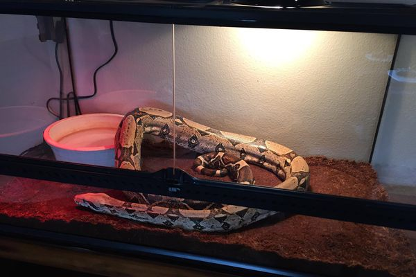 Anchorage police were able to warm up a 6-foot-long snake, dubbed