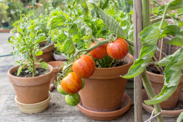 Tomato plant with green and red fruits. (iStock / Getty Images)