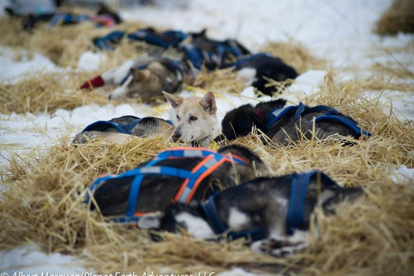 Dogs rest along the trail of the 2013 Yukon Quest.
