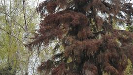 You can try to delay the inevitable when it comes to spruce bark beetles; just don't do damage in the process