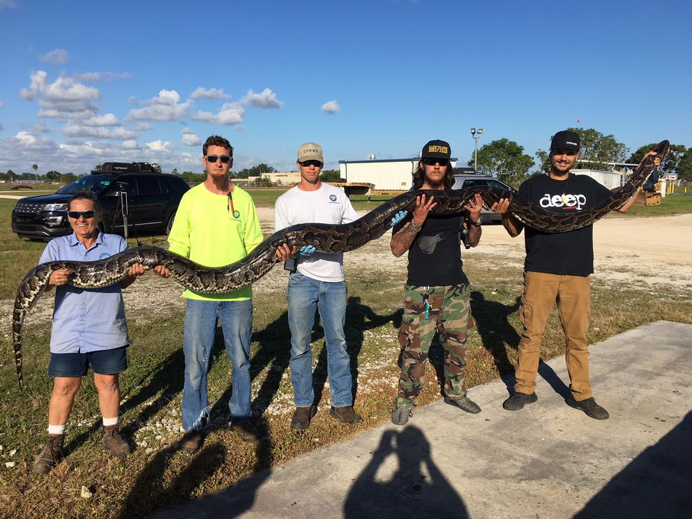 Three hunters caught a 17-foot, 132-pound Burmese python in the Florida Everglades in southern Miami-Dade, a record for the program aimed at curbing the proliferation of the non-native species. (South Florida Water Management District)