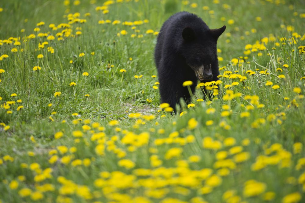 Three black bears could be spotted in the trees, brush and dandelions along Arctic Valley Road on June 11, 2018. (Marc Lester / Anchorage Daily News)