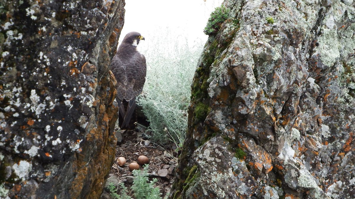 A peregrine falcon with eggs on a ledge on the upper Yukon River. (Photo by Skip Ambrose)
