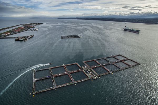 Cooke Aquaculture's Port Angeles fish operation inside the Ediz hook has been decertified. (Steve Ringman/Seattle Times/TNS)
