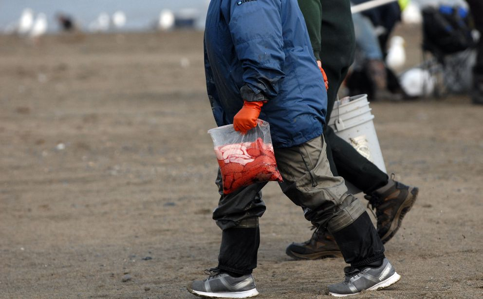A personal use dipnet salmon fisherman packs a bag of sockeye salmon roe up the beach at the mouth of the Kenai River on Wednesday, July 10, 2019. (Matt Tunseth / ADN)