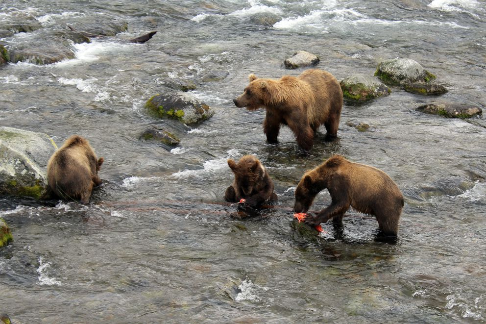A brown bear sow and cubs share a sockeye salmon meal in the Brooks River on July 18, 2017, in Katmai National Park. (Tegan Hanlon / ADN archive)