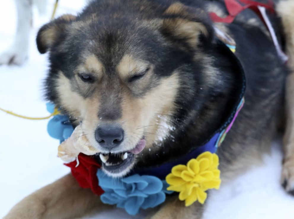 Lead dog Henry enjoys a snack at the finish line while wearing the Frank Bishop Lead Dog Award, named for a late, long-time Beargrease volunteer. (Steve Kuchera / skuchera@duluthnews.com)