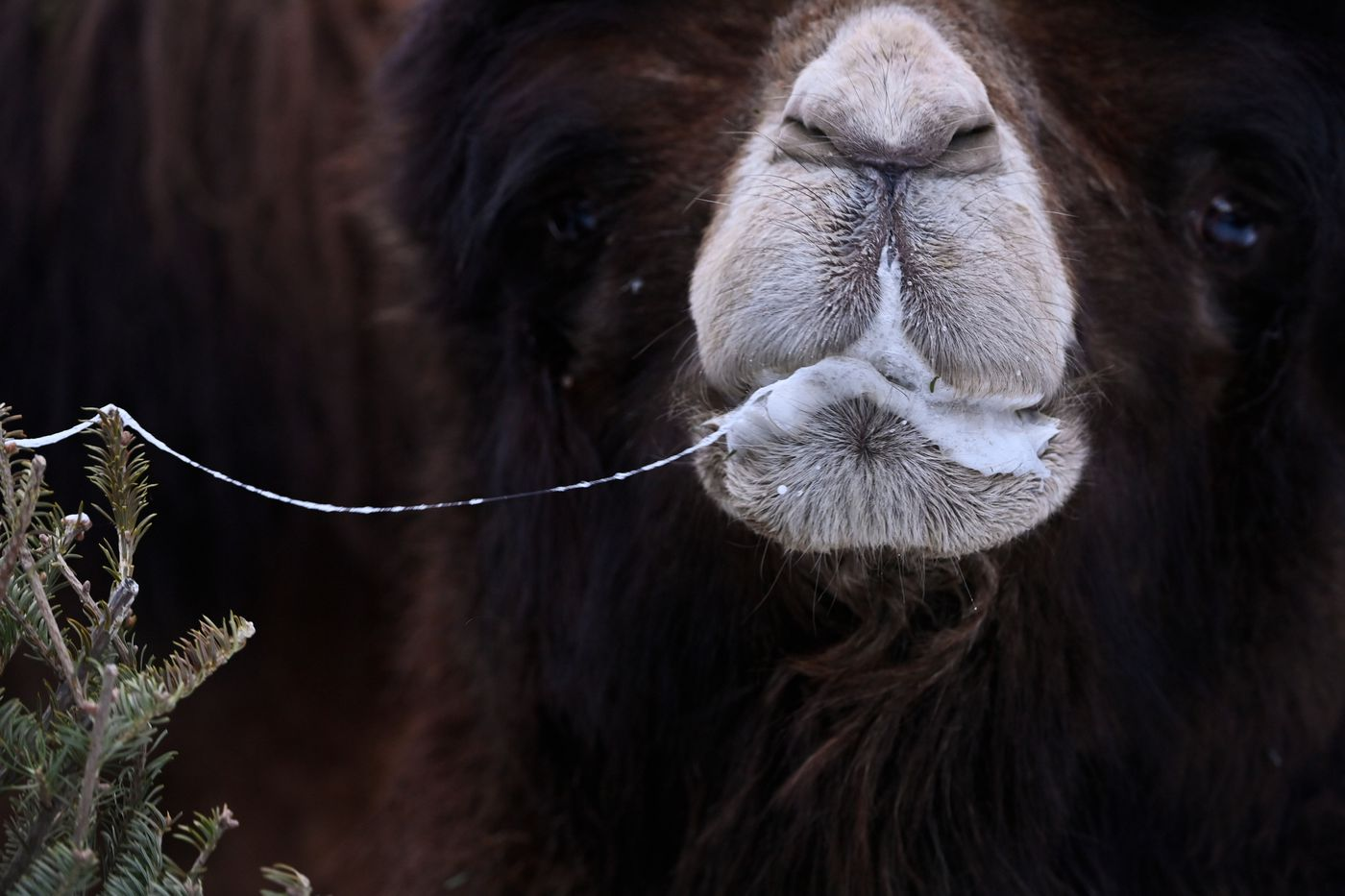 Spit from Knobby, a bactrian camel, dangles from a Christmas tree at the Alaska Zoo. (Marc Lester / ADN)
