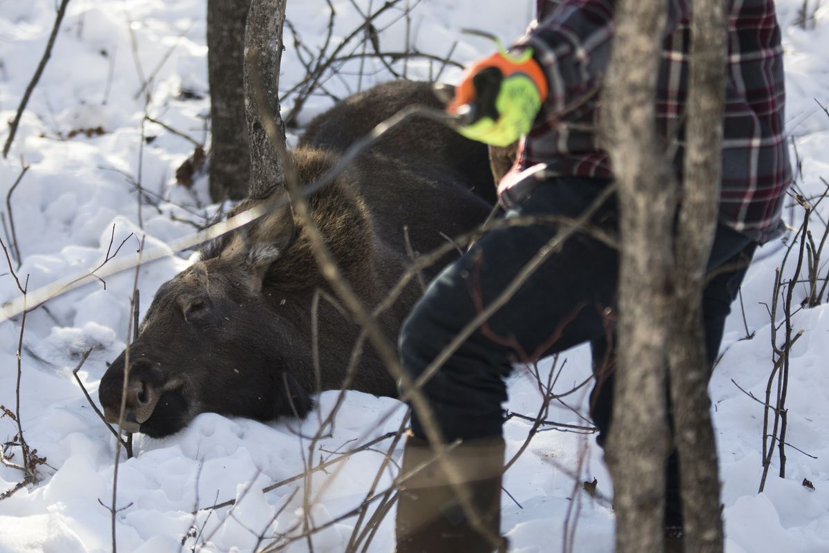 Steve Dyer prepares a winch cable to help pull a dead moose calf off private property on March 25 in Wasilla. (Rugile Kaladyte / Alaska Dispatch News)