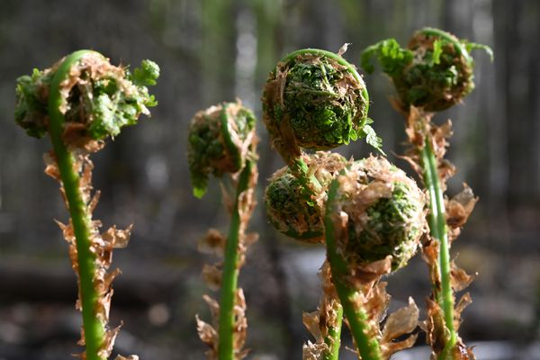 Fiddlehead ferns growing in a wooded area in Willow on Saturday, May 22, 2021. (Bill Roth / ADN)