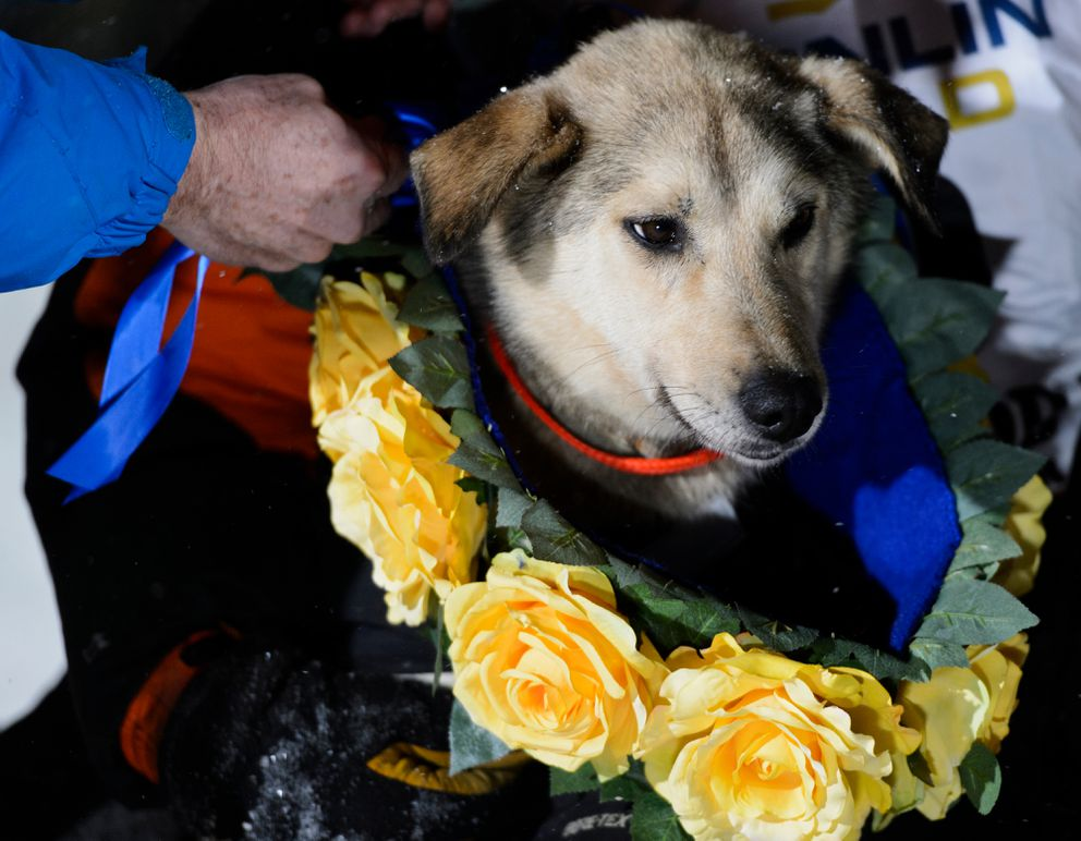 Morrow, a dog in Pete Kaiser's team, is wrapped in a garland of yellow roses. Peter Kaiser of Bethel reaches Nome to win the 2019 Iditarod Sled Dog Race on March 13, 2019. (Marc Lester / ADN)