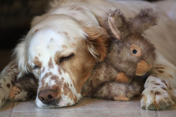 Hugo takes a nap with a toy bunny he received for Christmas one year. While it's easy to buy a gift for your dog, finding something for the hunter on your list isn't always as simple. (Photo by Steve Meyer)