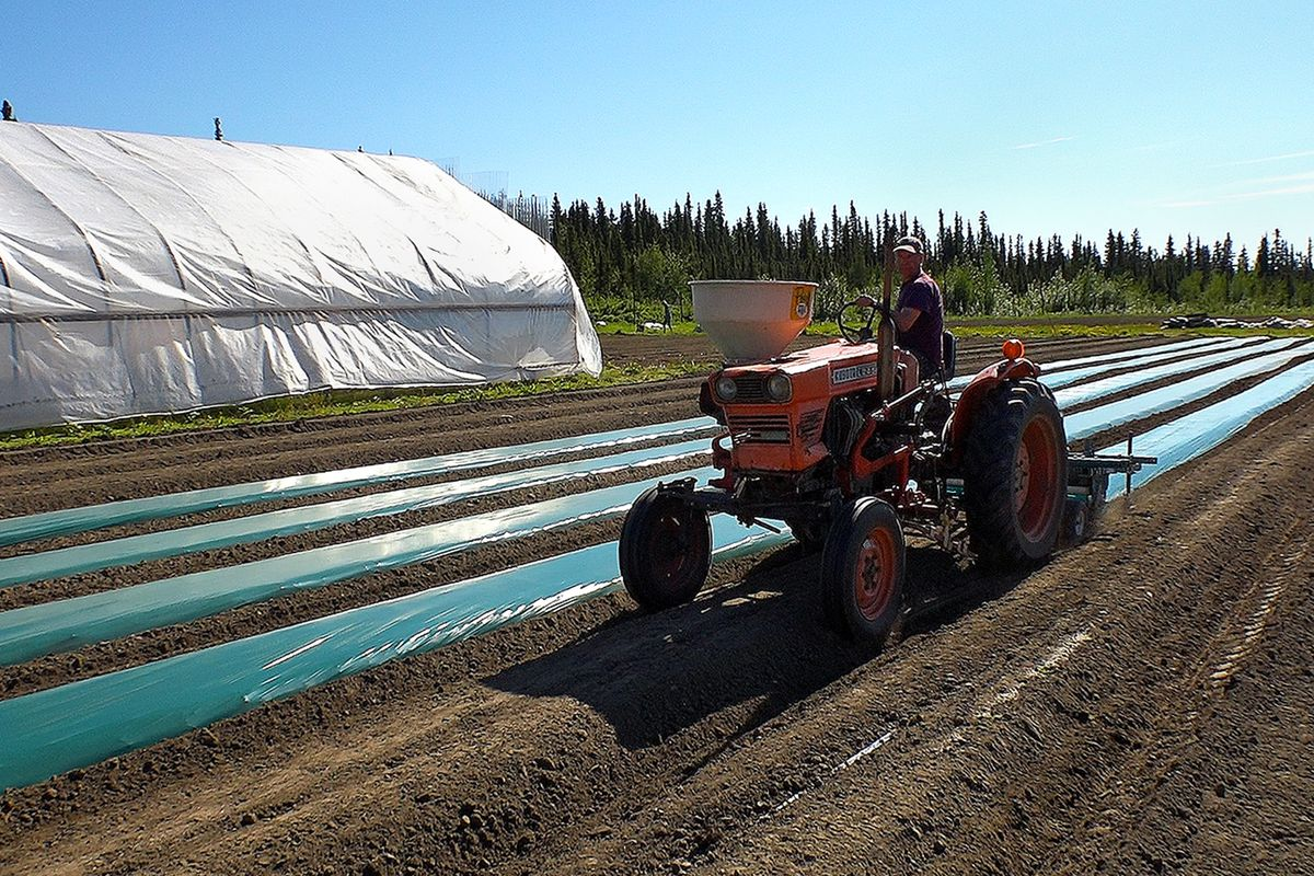 Rosie Creek Farm owner Mike Emers lays down plastic mulch in preparation for growing strawberries on May 30, 2016. Emers has applied to the state for a marijuana cultivation license. He intends to grow cannabis outdoors alongside his regular crops. (Scott Jensen / Alaska Dispatch News)