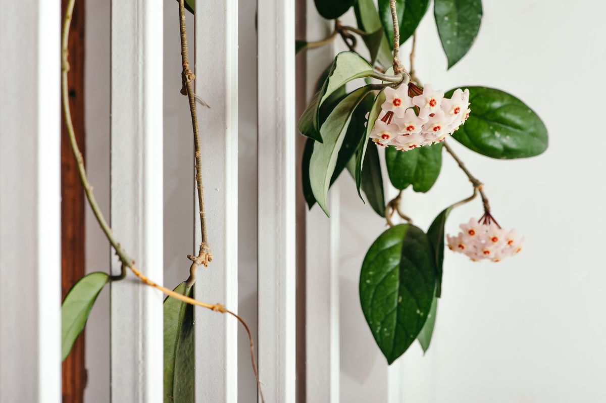 Hoya carnosa in bloom (Getty Images)