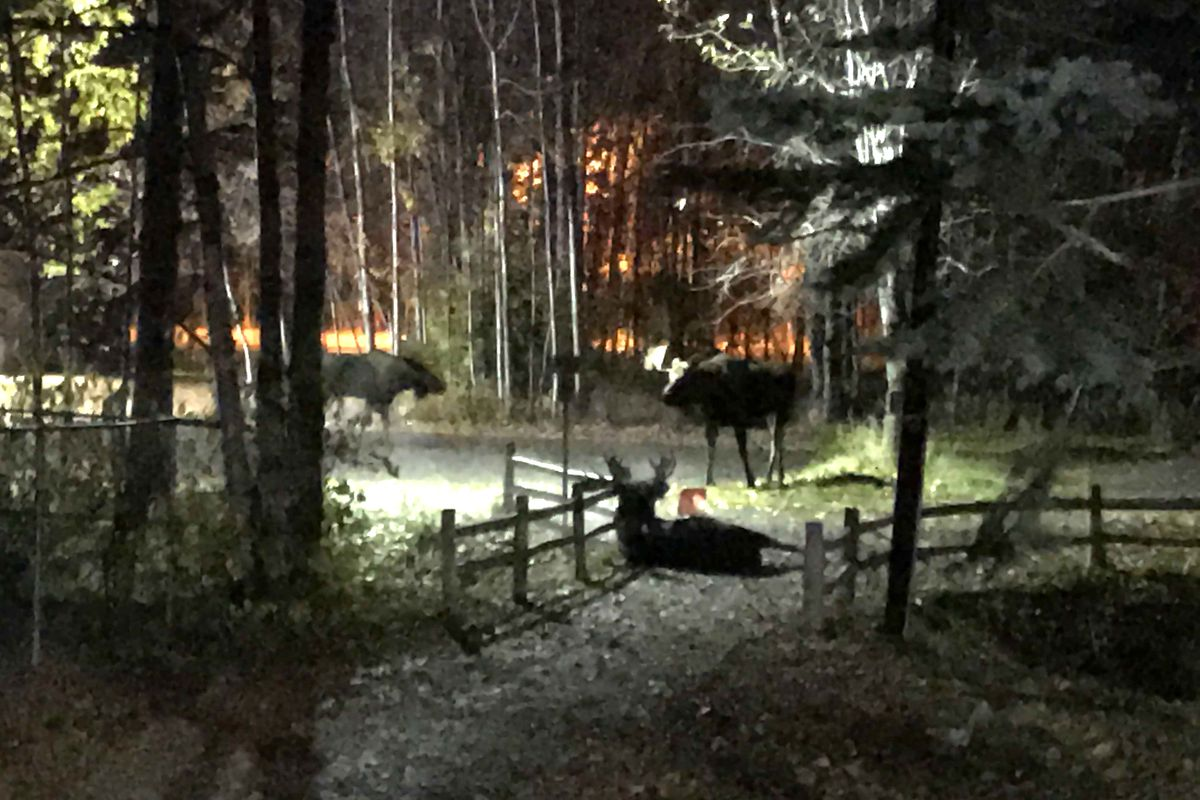 A moose lies wounded on the trail after losing a fight with the moose at left. The standing moose on the right was in the area during the fight and afterward. (Anne Raup / ADN)