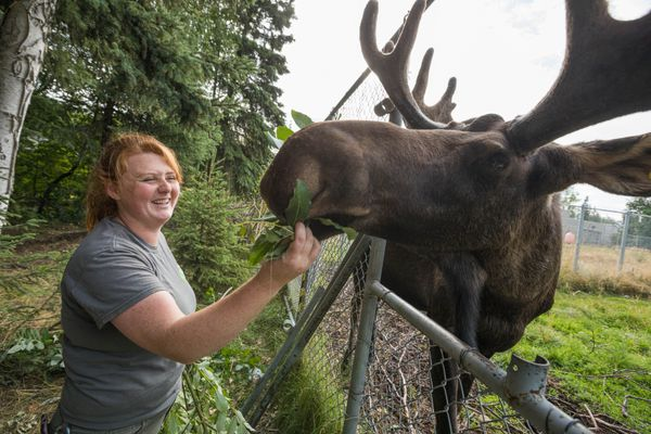 Zookeeper Angelica Evans feeds Uncle Fudge the moose on Tuesday, Aug. 13, 2019 at the Alaska Zoo. (Loren Holmes / ADN)