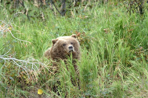 The female juvenile grizzly moved through high grass near the Kenai River Wednesday, Sept. 21, 2005. The female has been observed allowing fish she caught to be eaten by her injured sibling. (Jim Lavrakas / ADN archive 2005)