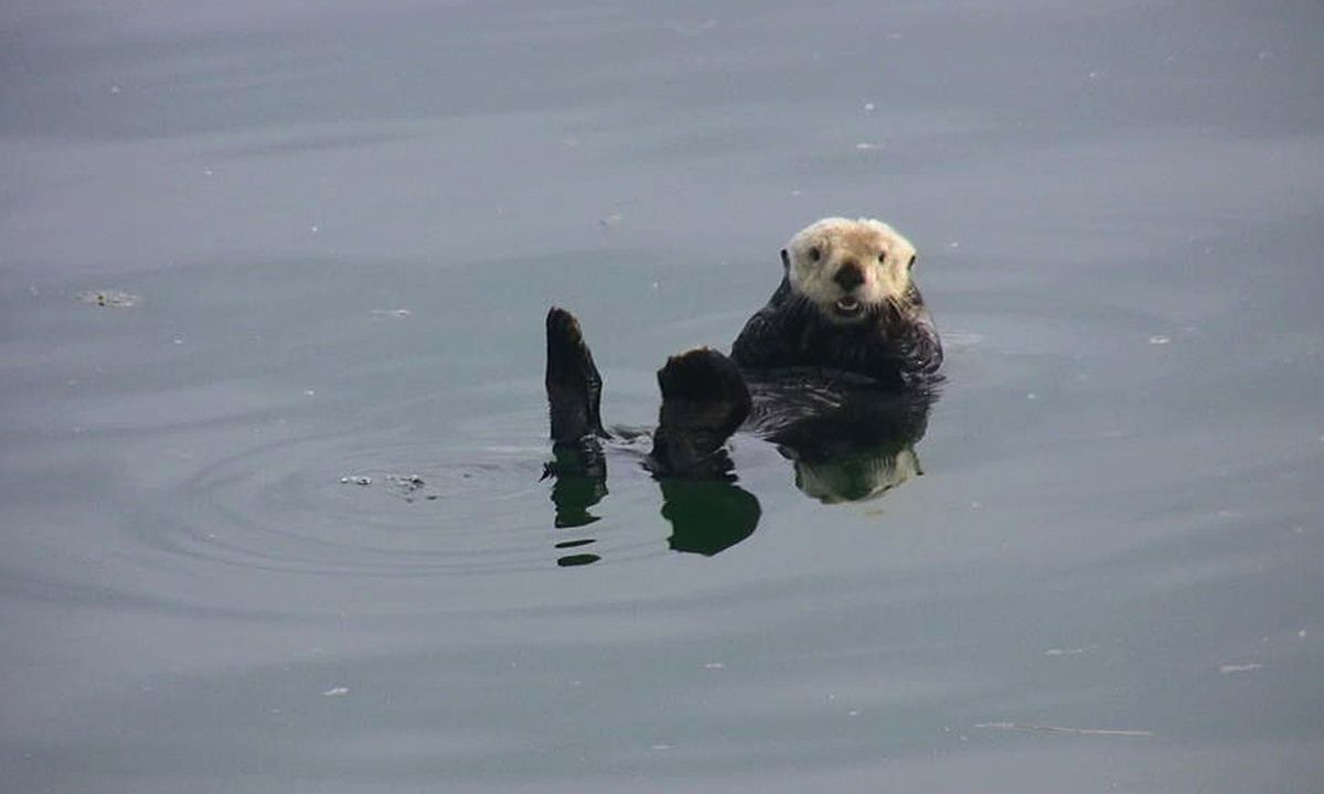 A sea otter in Glacier Bay, perhaps a descendent of otters moved from Amchitka Island in the 1960s. (Photo by Riley Woodford, Alaska Department of Fish and Game)