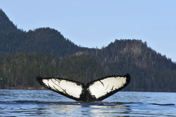 File - In this March 21, 2012 file photo, a humpback whale dives near Starrigavan estuary in Sitka, Alaska. Over the past several years researchers have noticed a decline in the number of North Pacific humpback whales showing up in their traditional breeding grounds around Hawaii. The missing humpbacks migrate each autumn from Alaska, where they feed during the summer months, to Hawaii, where they mate and give birth during the winter. (James Poulson/Daily Sitka Sentinel via AP, file)