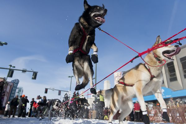 A dog from Seward musher Sarah Stokey's team leaps toward the starting line. Fifty-two mushers and dog teams ran across Anchorage for the ceremonial start of Iditarod 2019 on March 2, 2019. (Marc Lester / ADN)