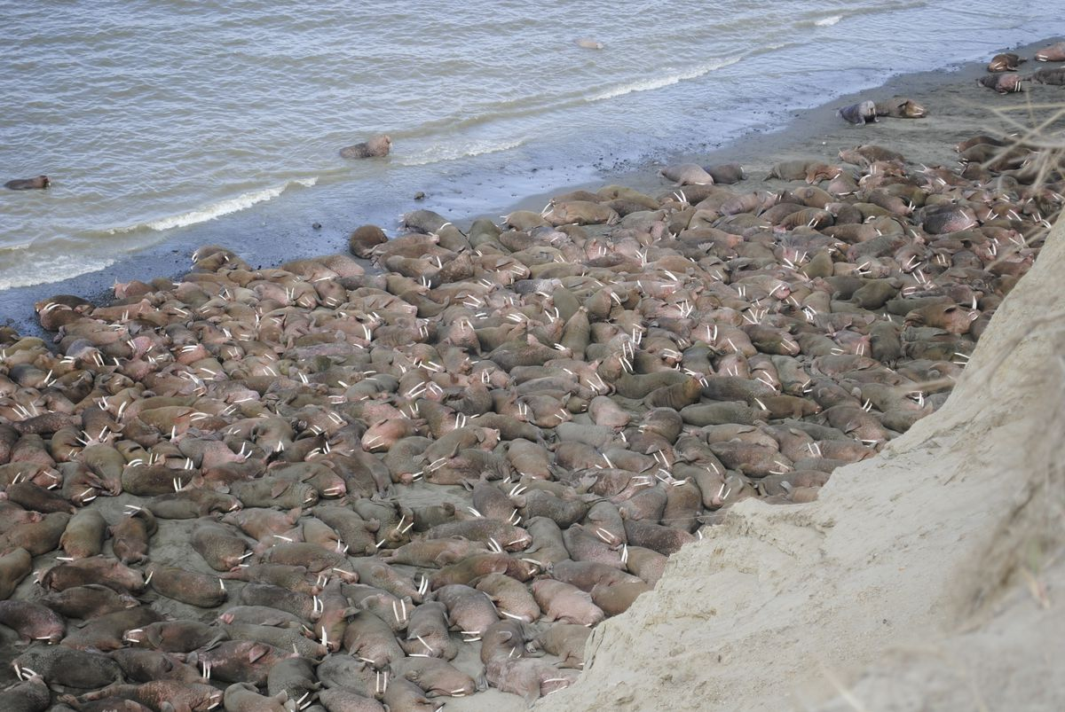Masses of walruses are seen on April 21, 2016, at Cape Greig on the Alaska Peninsula, site of a new haulout not seen before this year.
