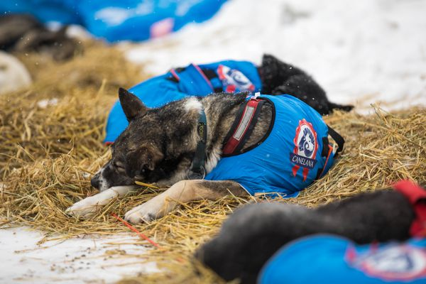 Dogs in Katherine Kieth's team sleep at the Unalakleet checkpoint on Monday, March 12, 2018. (Loren Holmes / ADN)