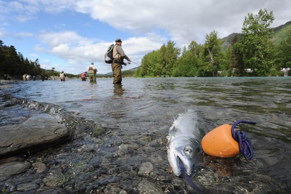 A sockeye on a stringer on the opening day of fishing near the Russian River Ferry crossing on the Kenai River on Sunday, June 11, 2017. (Bill Roth / Alaska Dispatch News)