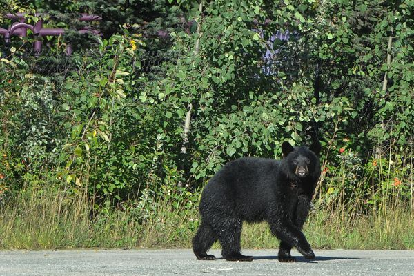 A black bear crosses a parking lot after wading in Ship Creek near the old power plant dam and overlook on Sunday, Aug. 28, 2016. (Bill Roth / Alaska Dispatch News)