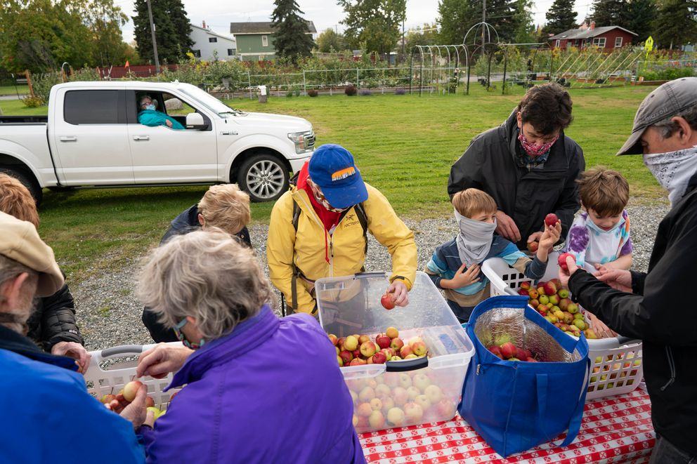 Government Hill residents pick apples at the Government Hill Commons orchard on Wednesday, Sept. 16, 2020. (Loren Holmes / ADN)