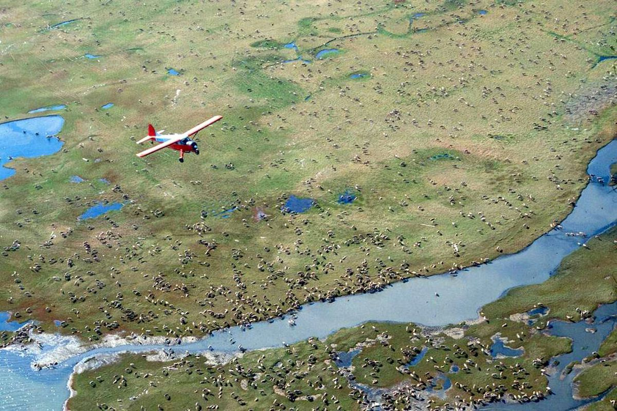 FILE - In this undated photo provided by the U.S. Fish and Wildlife Service, an airplane flies over caribou from the Porcupine Caribou Herd on the coastal plain of the Arctic National Wildlife Refuge in northeast Alaska. (U.S. Fish and Wildlife Service via AP)