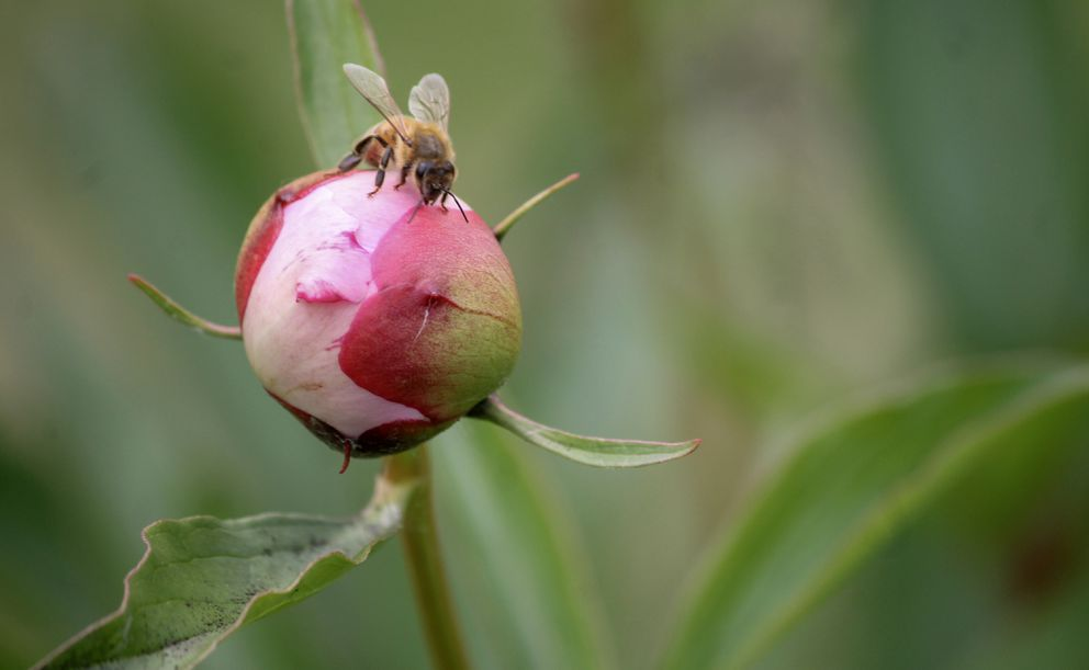 A honey bee inspects a peony from Brown Hen Farm in Peters Creek, Alaska, on Tuesday, July 17, 2018. (Photo by Mckenzie Richmond / ADN)