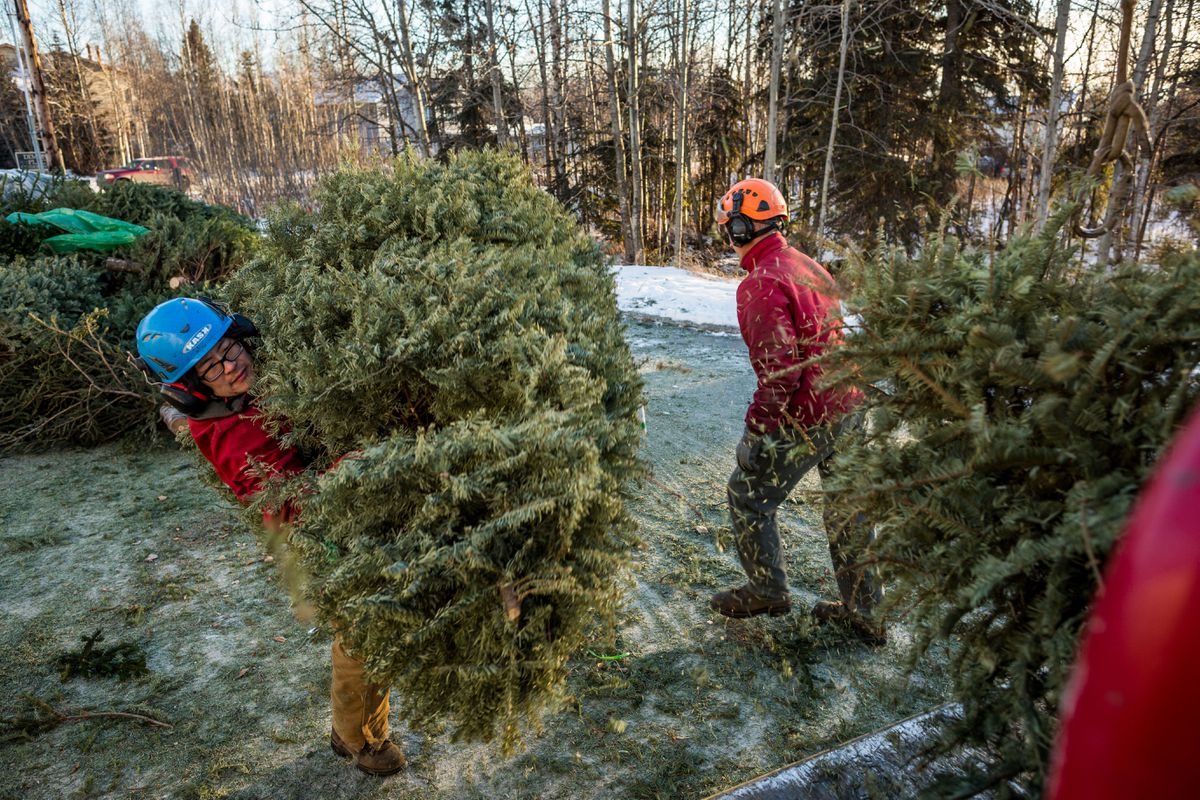 Tall Trees arborists Grant Tibbetts, left, and Geoffrey Gill chip Christmas trees at the Jewel Lake Carrs in Anchorage in 2014. The company, which is partnering with ALPAR, will use the wood chips to maintain trails around the city. The Christmas tree recycling program ends Jan. 15. (Loren Holmes / ADN archive 2014)