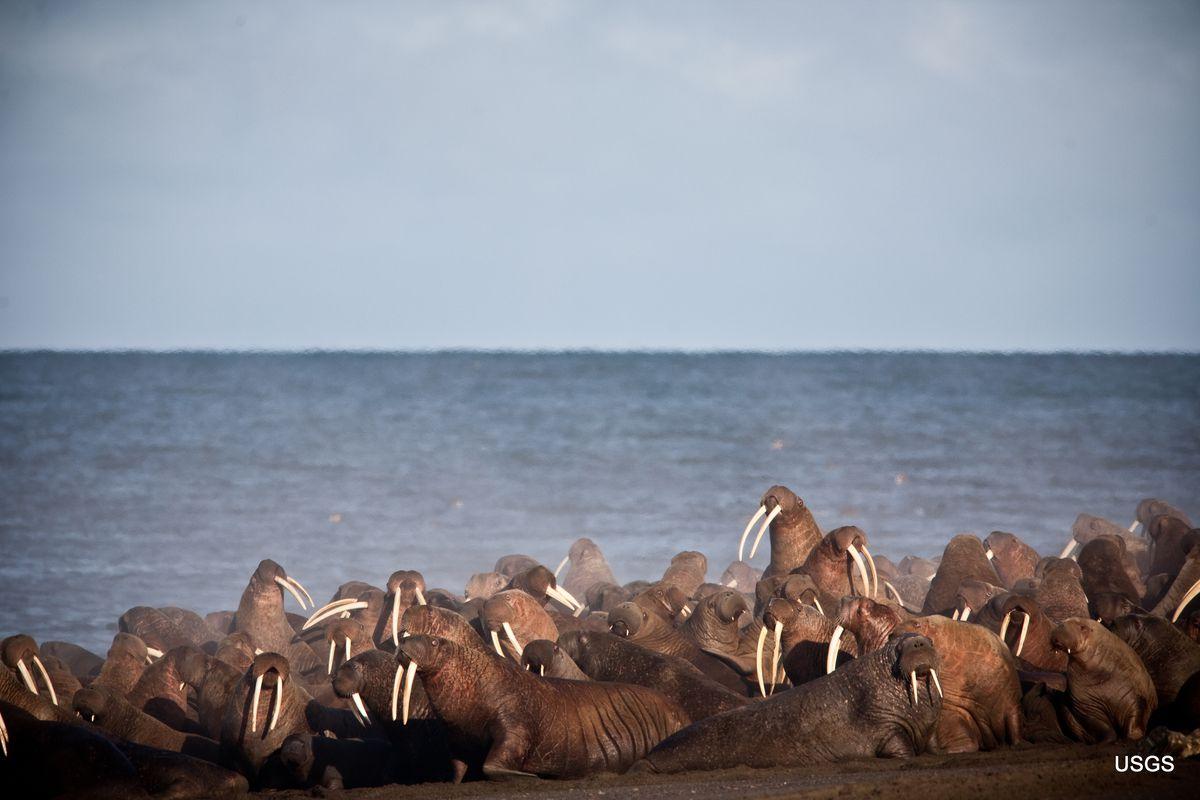 Walruses rest on the shore near Point Lay, Alaska. (Ryan Kingsbery / USGS)