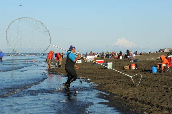 A dipnetter brings his net back to shore on Sunday. Thousands of people were on the Kenai River to dipnet for sockeye salmon Sunday July 19, 2015. (Anne Raup / Alaska Dispatch News)