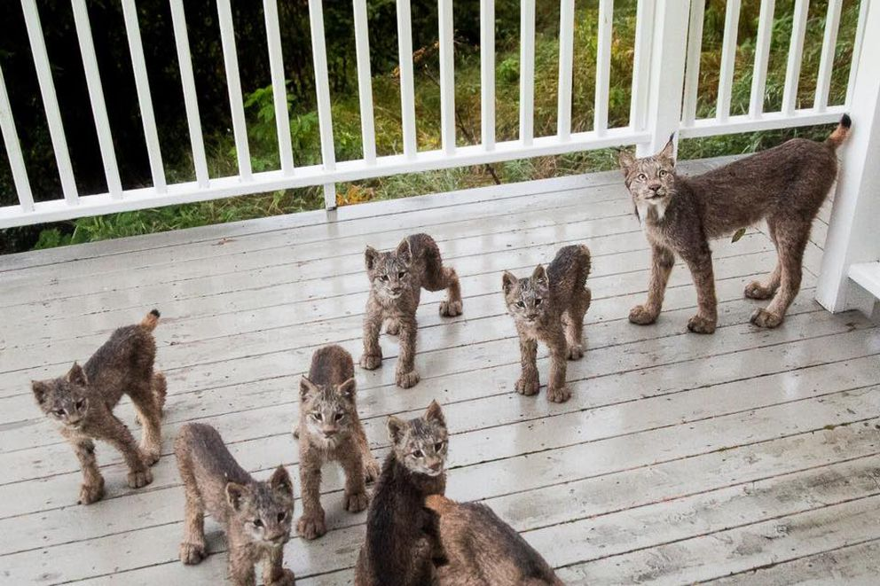 Eight lynx visited the home of Tim Newton at the end of September 2017. His new Facebook page has almost 20,000 followers as a result of the lynx photographs. (Tim Newton / tim-newton.pixels.com/) ONE TIME USE
