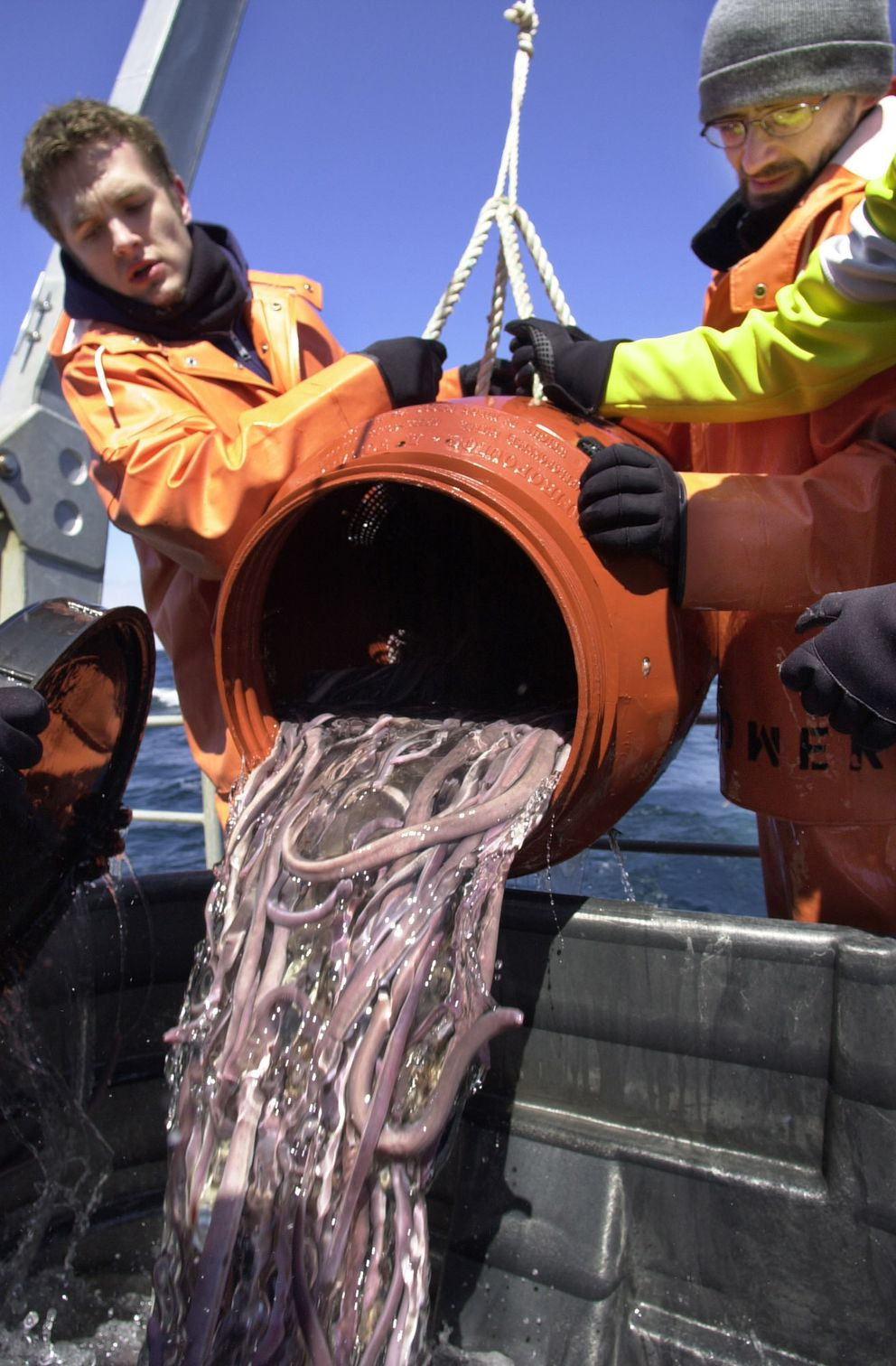 In this April 6, 2002, file photo, biology student Byron Pedler, left, and biochemistry grad student Mihael Freamat pour a barrel of hagfish into a holding tank aboard a research vessel about 20 miles off the coast of Portsmouth, N.H. (AP Photo/Steven Senne, File)