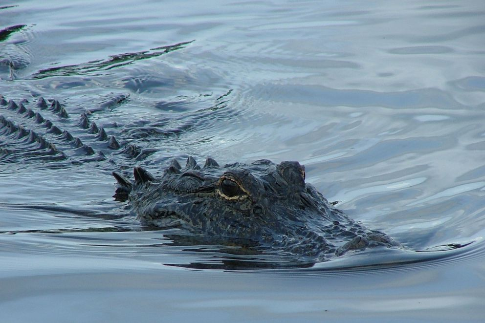 Eye contact with alligator in the swamp near Lafitte, La., July 2004.