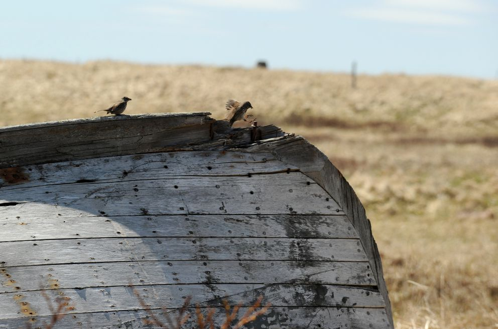 Giant song sparrows land on the keel of an overturned abandoned wooden boat on Attu Island, the westernmost of the Aleutian Islands, on June 3, 2015. (Bob Hallinen / Alaska Dispatch News)